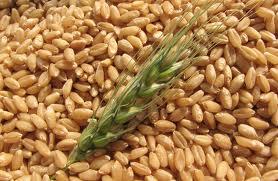лимец прадядото на пшеницата